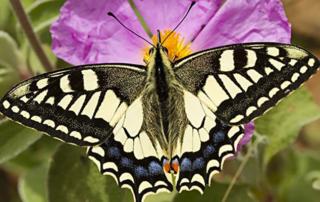 Schmetterlingspflanzen fördern Schmetterlinge