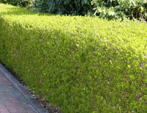 Vorfreude auf eine schöne grüne Mauer